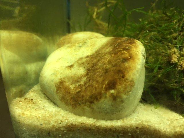 Algas marrones acuario