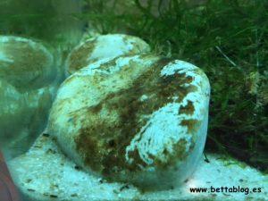 Algas Comidas Caracol