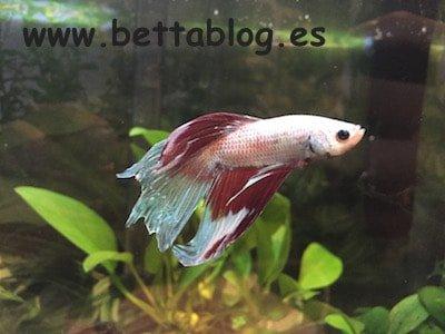 C mo respira el pez betta el rgano laberinto bettablog for Koi cuidados