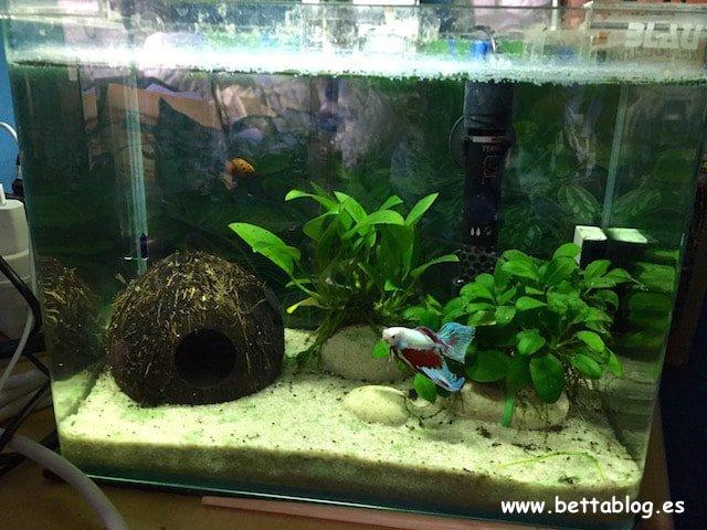 el acuario ideal para el pez betta bettablog