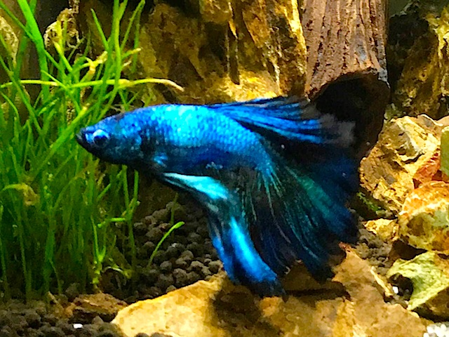 Betta Azul Duffy