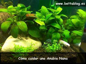 Como cuidar Anubia Nana