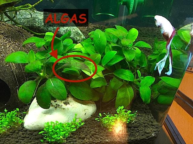 Cuidar Anubia Algas