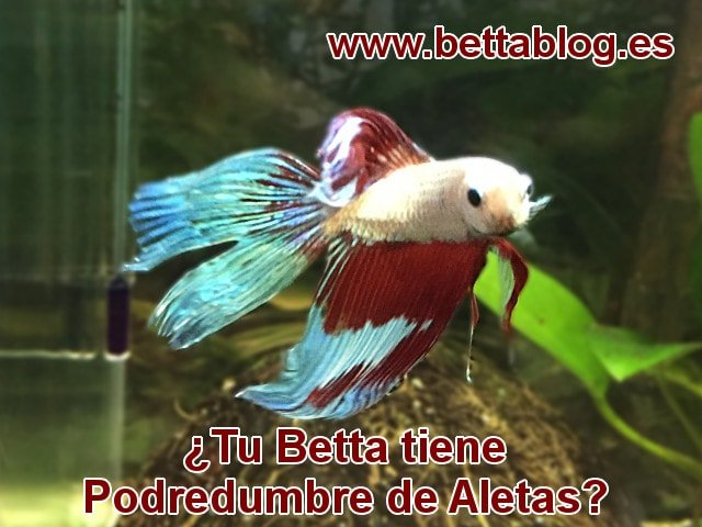 ¿Tu Betta tiene Podredumbre de Aletas?