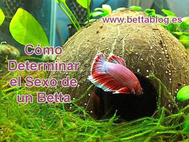 Diferenciar entre Betta Macho y Hembra