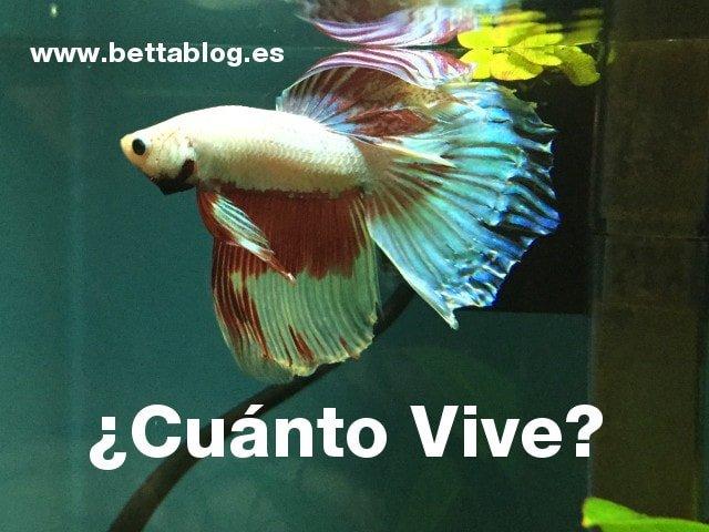 Cuánto vive el pez betta