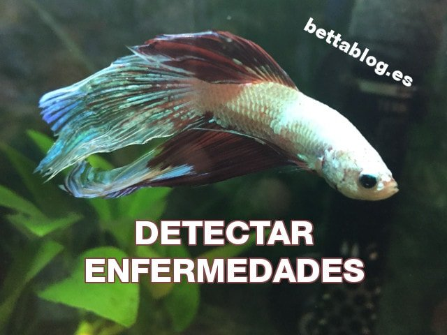 Detectar Enfermedades en Bettas