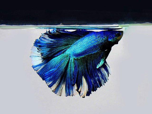 Betta de Color Azul